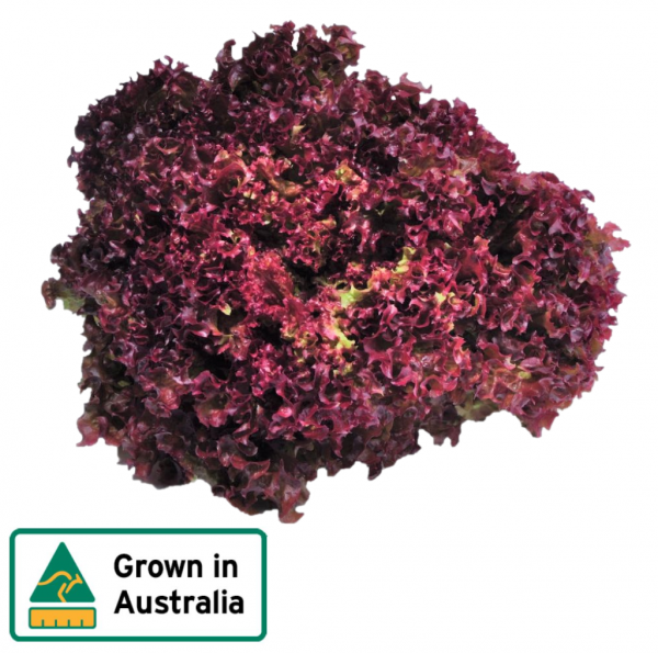 LETTUCE RED CORAL EACH